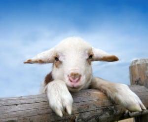 Süßes, junges Lamm